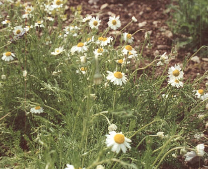 Types Of Essential Oils - roman chamomile